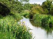 Yellow Irises growing on the banks of the Royal Canal supply canal, which is fed from Lough Owel, Co. Westmeath, Ireland