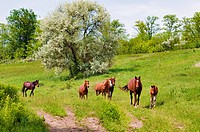 herd of wild steppe horses on graze