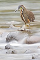 Bare_throated Tiger_Heron Tigrisoma mexicanum feeding along a stream in Costa Rica.
