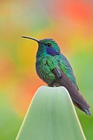 Green Violet_ear Colibri thalassinus perched on a branch in Costa Rica.