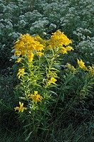 Large meadow with aster and goldenrod, Greater Sudbury, Ontario, Canada