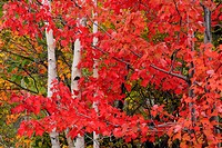 Acer rubrum Red Maple Autumn foliage with white birch tree trunks, Greater Sudbury, Ontario, Canada