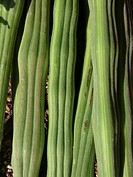 Drumsticks, Moringa oleifera syn  M  pterygosperma F Moringacea