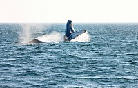 Humpback whale breaching, Megaptera novaeangliae off Grand Manan Island, Bay of Fundy, New Brunswick, Canada
