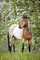 German Riding Pony _ standing on meadow
