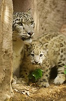 snow leopard and cub / Uncia uncia