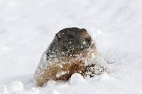Alpine Marmot in snow / Marmota marmota
