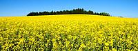 Europe, Germany, Upper Bavaria, Geretsried, Schwaigwall, View of large rapeseed field