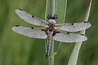 Germany, Murnau, Close up of male four_spotted chaser on stem