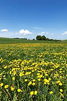 Germany, Bavaria, Upper Bavaria, Muensing, Holzhausen, View of church at distant with meadows of dandelions