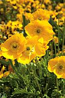Germany, Close up of Iceland poppy