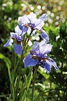 Germany, Close up of violet Iris flower