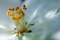Germany, Bavaria, Close up of apple blossom with stamen in garden