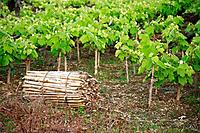 Grape vines in Azores islands, Portugal