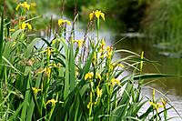 Irises (Iris pseudacorus) by a river bank