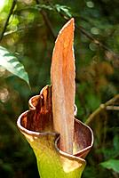 Titan Arum lily Amorphophallus titanum of Gunung Garding Sarawak,Malaysia