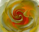 Close_up of a white rose