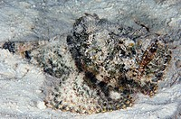 Stonefish Synanceia verrucosa camouflaged in sand on the seabed. Stonefish are the most venomous fish known to man. The sting from their spines can be...