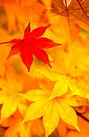Red leaf among yellow leaves