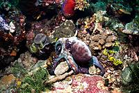Day octopus Octopus cyanea hunting amongst corals on a reef. This octopus, also known as the common reef octopus feeds mainly on crustaceans. It can c...
