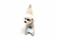 Toy poodle with a card