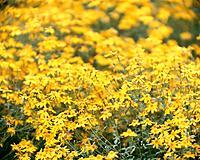 Lemon marigold, close up, Fujisawa city, Kanagawa prefecture, Japan