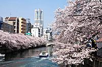 Cherry blossoms and Landmark tower