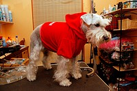 Miniature Schnauzer wearing blouse during wisit in dog beauty parlour