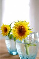 Sunflowers in glasses of water