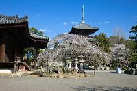 Cherry blossoms, flower, Dojoji Temple, Dojo Temple, main temple, buddhist temple, Three_Storied Pagoda, Gobo, Wakayama, Kinki, Japan