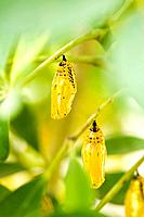Cocoon of Paper Kite Butterfly, Okinawa Prefecture, Japan
