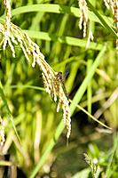 Dragonfly on Rice Crop