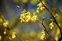 Winter Hazel Flower Head Branch Close_up