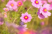 Cosmos, Flower, Plant, Fukushima, Fukushima, Tohoku, Japan