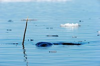 Narwhals showing tusks above water Monodon monoceros Baffin Island, Nunavut, Canada