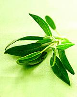 Sage plant on green background