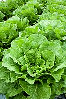 Lettuces, close up, full frame