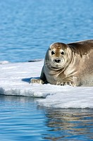 Bearded seals are at risk due to global warming or climate change in the ARctic as they are dependent on sea ice to breed