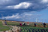 Modern windmills. People working in fields. Crops in volcanic soil. Stormy sky.