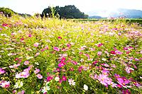 Cosmos flowers. Otsu, Shiga Prefecture, Japan