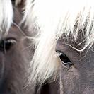 Icelandic horses , closeup of eye