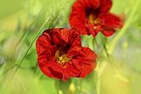 Beautiful red nasturtium close up