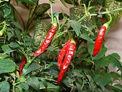 Red, Common Chilies, Capsicum annuum on plant