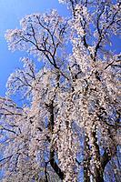 Cherry trees under sky