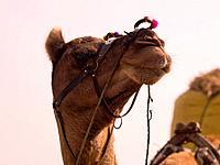 Rajasthan, India _ camel
