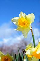 Daffodil, close up, differential focus