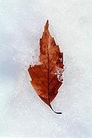 Autumnal leaf resting on snow