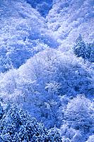 Frozen trees in forest, Kanagawa Prefecture, Honshu, Japan