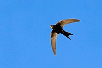 Mauersegler Common Swift Swift Eurasian Swift Apus apus Martinet noir Vencejo Común