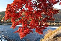 Red autumnal tree next to river and bridge. Togetsu_kyo, Arashiyama, Kyoto Prefecture, Japan